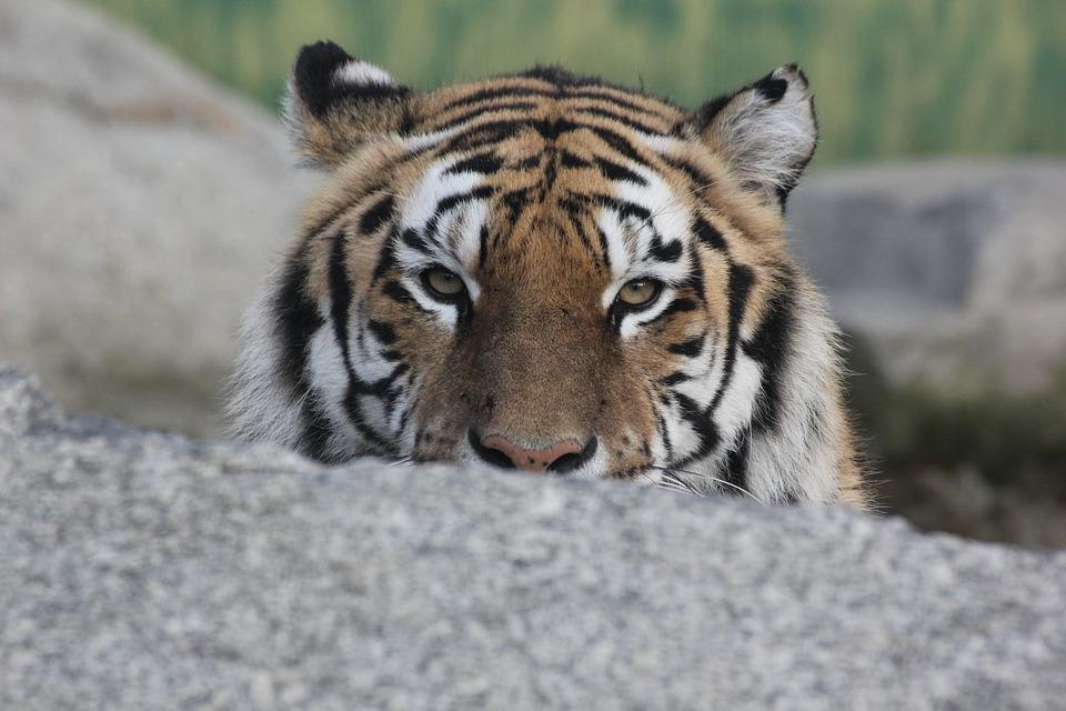 Monatliche Einnahmen-Tiger